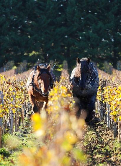 chevaux vendanges manuelles, cheveaux vignobles