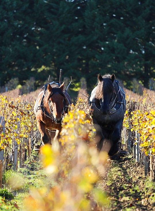 smith haut lafitte chevaux, biodiversité vignobles, cheveaux vendanges